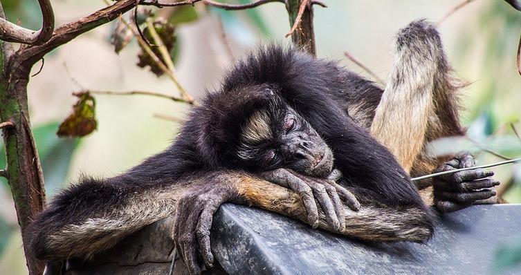 monkey nap